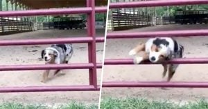 Dog Becomes A Twitter Hero After Jumping Through The Bars Of A Gate And Showcased Excellent Barkour Skills