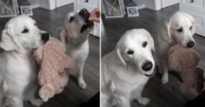 These Puppers Sharing Their Toy While Their Mom Gives Them Treats Is The Most Purest Thing You'll Ever See