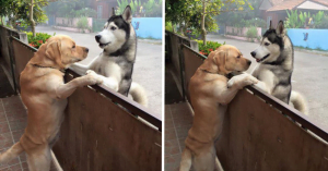 This Lonely Husky Escaped From His Yard Only To Get A Hug From His Friend