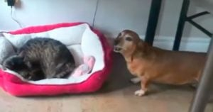Dogs are Having a Hard Time Dealing with These Bed Stealing Cats and Someone Has to Do Something About It