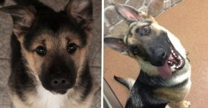 10 hilarious German Shepherd secrets that'll shatter your trust