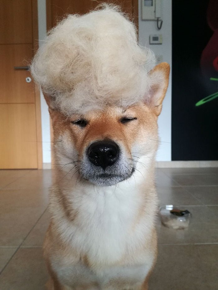 Human Tried To Mock This Hairy Shiba Inu And His Reaction Is Pure Gold