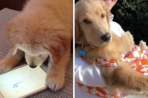 15+ Golden Retrievers That Are Too Pure And Wholesome For This Ruff World