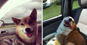 10+ Pawsome Doggos Who Are The Best Car Passengers And Their Face Says It All