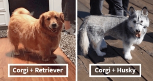 10+ Times Corgis Mixed With Other Dog Breeds And We Got The Most Pawsome Results