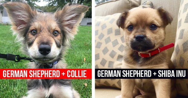10 Pawsome German Shepherd Mixes That Will Make You Say I Want 40