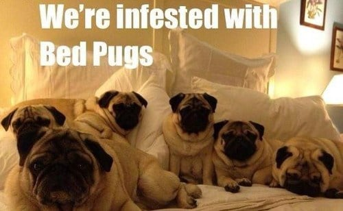20 pug memes that will have you hollering with laughter