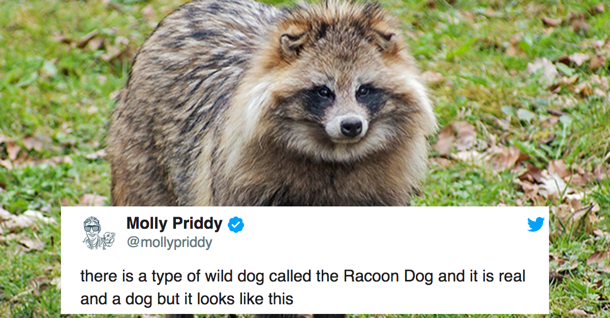 raccoon dogs are a real animal and we are heccin obsessed
