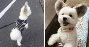 Internet Is Obsessed With This Ridiculously Adorable Doggo With Mouse Ears