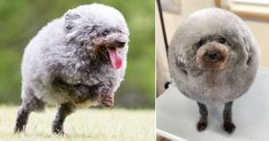 With A Little Bit Of Grooming This Dog Is Now Looking Like A Fluffy Sheep And The Internet Loves It