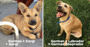 "10+ Majestic German Shepherd Mixes That Will Make You Yell ""I WANT ONE"""
