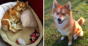 This Pomeranian-Husky Looks Like A Majestic Pet Fox Straight From Your Dreams